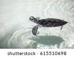 Baby Turtle Being Fostered In A ...