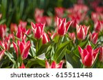 field of white red tulips... | Shutterstock . vector #615511448