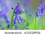 English Bluebells ...