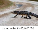 An American Alligator Crosses...
