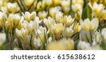 Group Of Crocus  In The Sun ...