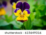 Violet Pansy Flower  Close Up...