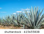 blue agave plants in mexico... | Shutterstock . vector #615655838