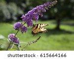 A Yellow Tiger Swallowtail...