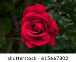 Stock photo red roses in the garden 615667802