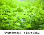 Field Of A Green Clover...
