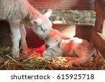 Two Newborn Lambs On Straw...