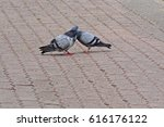 a couple of rock dove... | Shutterstock . vector #616176122