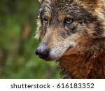 iberian wolf       | Shutterstock . vector #616183352