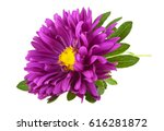 Violet Aster Isolated On A...