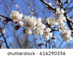 apricot blossom flowers in... | Shutterstock . vector #616290356