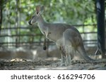 Kangaroo Mother Has A Joey In...