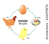 chicken life cycle. egg  embryo ... | Shutterstock .eps vector #616295876