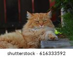 Siberian Red Haired Cat