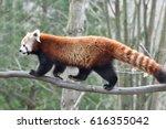 Red Panda  Ailurus Fulgens ...