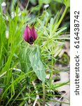 Small photo of Vertical view of purple toadshade flower in green spring grass. Close up perspective.