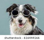australian shepherd | Shutterstock . vector #616444166