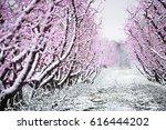 peach tree blossom on a farm in ... | Shutterstock . vector #616444202