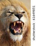 Lion male showing teeth, Serengeti, Tanzania - stock photo