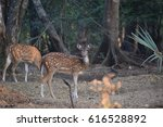 Small photo of these deers roam freely in the borivalli notional park in the city of mumbai. but they move so fast that it's a tough thing for someone like me to click a picture of these animals.