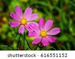 cosmos flower | Shutterstock . vector #616551152