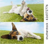 Jack Russell Lying On Grass...