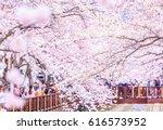 cherry blossom at yeojwacheon...   Shutterstock . vector #616573952