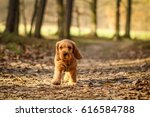 Stock photo a cute puppy of golden cocker spaniel is walking and playing in the woods he s happy to be out 616584788