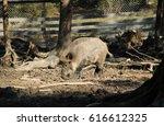 wild boar male  sus scrofa ... | Shutterstock . vector #616612325