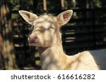 portrait of a white fallow deer ...   Shutterstock . vector #616616282