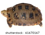 elongata Elongated tortoise isolated in white - stock photo
