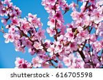 Blossoming Peach Tree Branches...