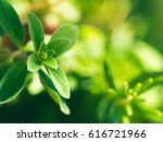 home garden growing marjoram... | Shutterstock . vector #616721966