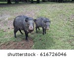 javelina pigs mother and young | Shutterstock . vector #616726046