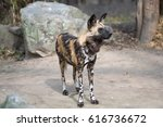 Small photo of African wild dog scanning its surroundings for threats or food