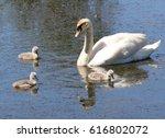 Baby Mute Swan Cygnets  Cygnus...