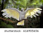 Cockatoo With Wings Spread ...