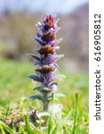 Small photo of wild plants Ajuga hairy on a green meadow