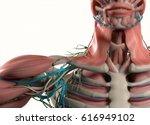 human anatomy shoulder  neck ... | Shutterstock . vector #616949102