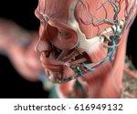 human anatomy face  cheek ... | Shutterstock . vector #616949132