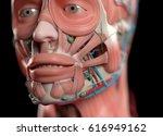 human anatomy face  nose  eyes  ... | Shutterstock . vector #616949162