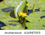 Yellow Water Lily Nymphaeaceae...