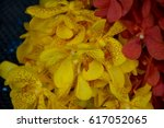 yellow dendrobium    orchid  ... | Shutterstock . vector #617052065