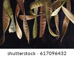 curly acacia seedpods hanging... | Shutterstock . vector #617096432