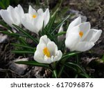 Beauty Of White Crocus Flowers.