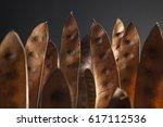 Brown Acacia Seedpods Standing...