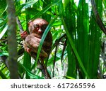 Small photo of One of the Smallest Primate in the World. Found in the Philippines. It is an endangered species.