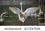Swan Expanding Its Wings In Th...