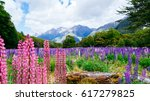 Lupin flower in Fiordland National Park.  New Zealand.