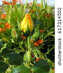 Yellow Rosebud Surrounded By...